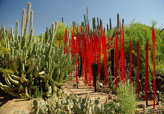 here at the desert botanical garden in phoenix arizona his lovely glass sculptures are planted amongst the cactus and desert flowers a first for the - Desert Botanical Garden Phoenix